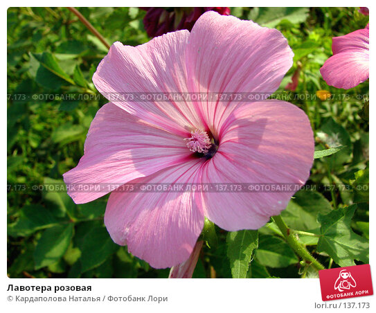 Лавотера розовая, фото № 137173, снято 18 августа 2007 г. (c) Кардаполова Наталья / Фотобанк Лори
