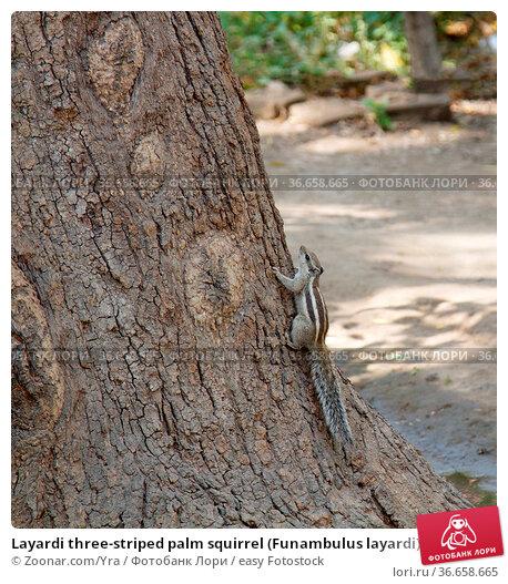Layardi three-striped palm squirrel (Funambulus layardi) against background... Стоковое фото, фотограф Zoonar.com/Yra / easy Fotostock / Фотобанк Лори