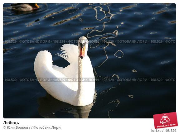 Лебедь, фото № 108529, снято 24 октября 2007 г. (c) Юля Волкова / Фотобанк Лори