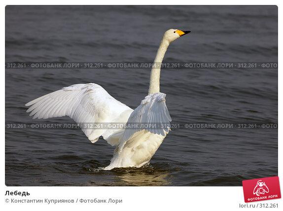 Купить «Лебедь», фото № 312261, снято 25 апреля 2018 г. (c) Константин Куприянов / Фотобанк Лори