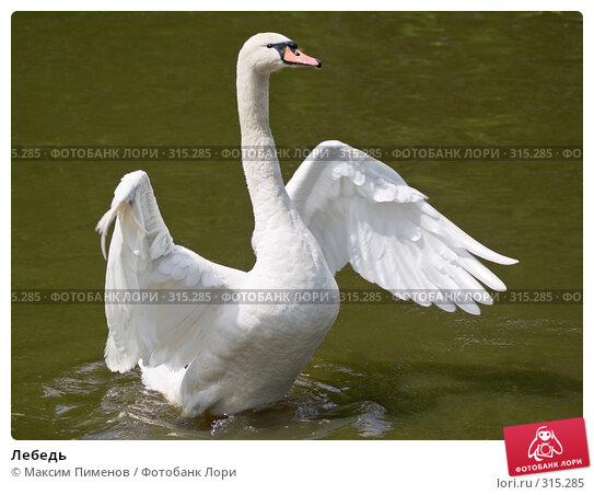 Лебедь, фото № 315285, снято 10 мая 2008 г. (c) Максим Пименов / Фотобанк Лори