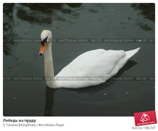 Лебедь на пруду, фото № 160737, снято 17 июня 2007 г. (c) Галина Беззубова / Фотобанк Лори