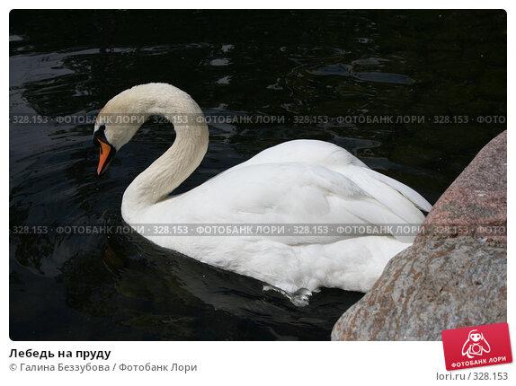 Купить «Лебедь на пруду», фото № 328153, снято 19 июня 2008 г. (c) Галина Беззубова / Фотобанк Лори
