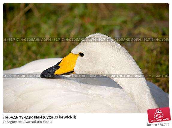 Лебедь тундровый (Cygnus bewickii), фото № 80717, снято 5 августа 2007 г. (c) Argument / Фотобанк Лори