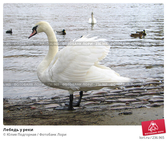 Лебедь у реки, фото № 236965, снято 17 марта 2008 г. (c) Юлия Селезнева / Фотобанк Лори