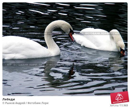 Лебеди, фото № 11969, снято 27 октября 2006 г. (c) Рыжов Андрей / Фотобанк Лори