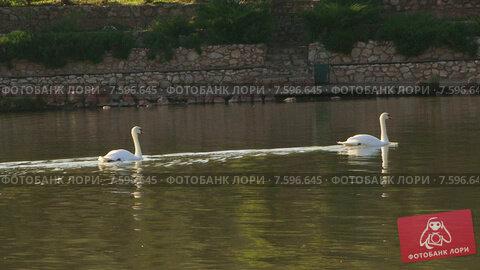 Купить «Лебеди плавают в озере», видеоролик № 7596645, снято 18 июня 2015 г. (c) Tatiana Kravchenko / Фотобанк Лори