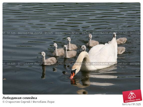 Лебединая семейка, фото № 91525, снято 31 мая 2007 г. (c) Старостин Сергей / Фотобанк Лори