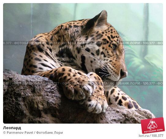 Леопард, фото № 100377, снято 9 марта 2007 г. (c) Parmenov Pavel / Фотобанк Лори