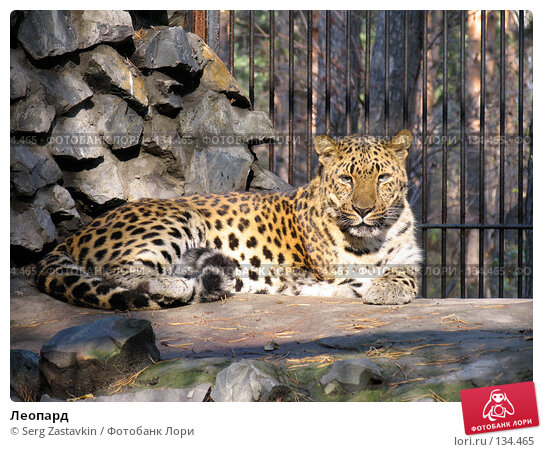 Леопард, фото № 134465, снято 10 октября 2004 г. (c) Serg Zastavkin / Фотобанк Лори