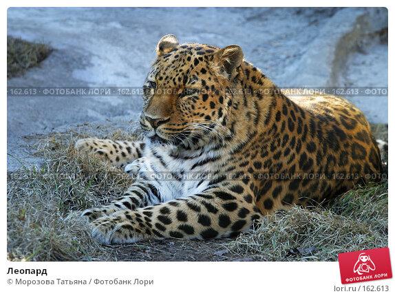 Купить «Леопард», фото № 162613, снято 12 апреля 2006 г. (c) Морозова Татьяна / Фотобанк Лори