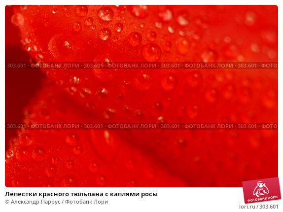 Лепестки красного тюльпана с каплями росы, фото № 303601, снято 21 апреля 2008 г. (c) Александр Паррус / Фотобанк Лори