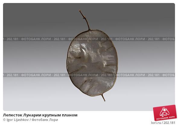 Лепесток Лунарии крупным планом, фото № 202181, снято 7 февраля 2008 г. (c) Igor Lijashkov / Фотобанк Лори