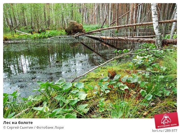 Лес на болоте, фото № 289977, снято 30 июня 2007 г. (c) Сергей Сынтин / Фотобанк Лори
