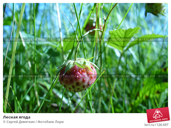Лесная ягода, фото № 126697, снято 8 июля 2007 г. (c) Сергей Девяткин / Фотобанк Лори