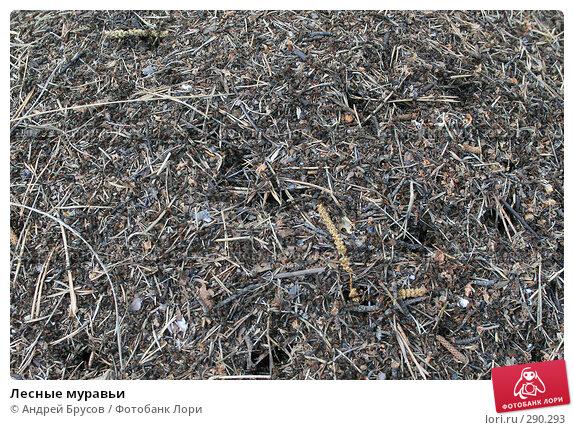 Лесные муравьи, фото № 290293, снято 17 мая 2008 г. (c) Андрей Брусов / Фотобанк Лори