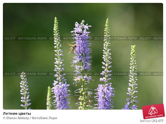 Летние цветы, фото № 252077, снято 19 июля 2005 г. (c) Efanov Aleksey / Фотобанк Лори