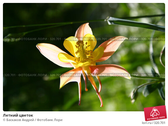 Летний цветок, фото № 320701, снято 12 июня 2008 г. (c) Баскаков Андрей / Фотобанк Лори