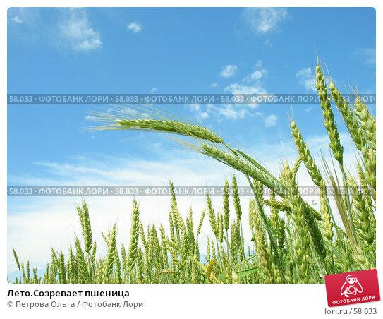 Лето.Созревает пшеница, фото № 58033, снято 19 июня 2007 г. (c) Петрова Ольга / Фотобанк Лори