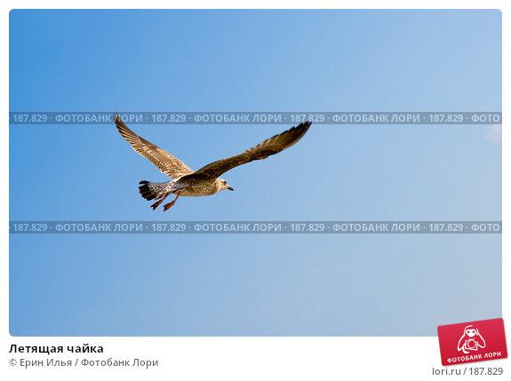 Летящая чайка, фото № 187829, снято 18 августа 2007 г. (c) Ерин Илья / Фотобанк Лори