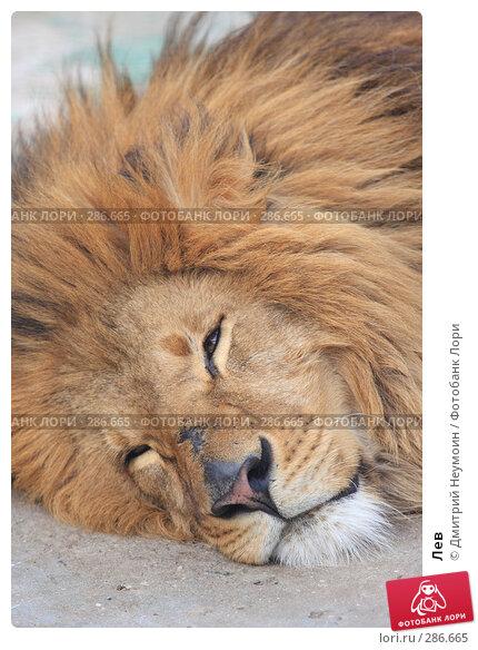 Купить «Лев», эксклюзивное фото № 286665, снято 26 апреля 2008 г. (c) Дмитрий Неумоин / Фотобанк Лори