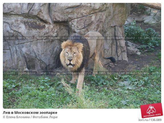 Купить «Лев в Московском зоопарке», фото № 136089, снято 2 октября 2007 г. (c) Елена Блохина / Фотобанк Лори
