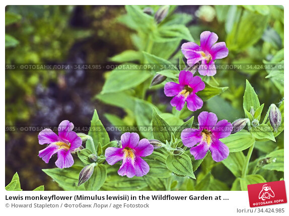 Lewis monkeyflower (Mimulus lewisii) in the Wildflower Garden at ... Стоковое фото, фотограф Howard Stapleton / age Fotostock / Фотобанк Лори