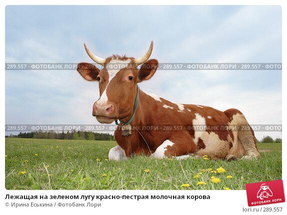 Лежащая на зеленом лугу красно-пестрая молочная корова, фото № 289557, снято 18 мая 2008 г. (c) Ирина Еськина / Фотобанк Лори