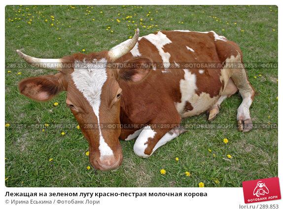 Лежащая на зеленом лугу красно-пестрая молочная корова, фото № 289853, снято 18 мая 2008 г. (c) Ирина Еськина / Фотобанк Лори
