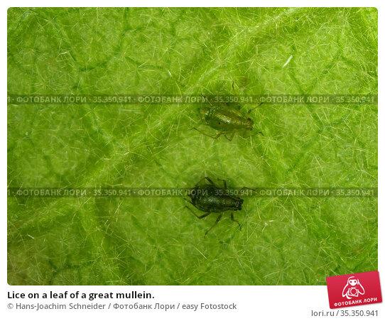 Lice on a leaf of a great mullein. Стоковое фото, фотограф Hans-Joachim Schneider / easy Fotostock / Фотобанк Лори