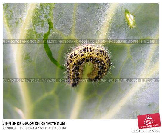 Личинка бабочки капустницы. Стоковое фото, фотограф Ниязова Светлана / Фотобанк Лори