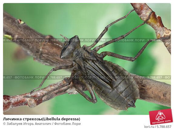 Купить «Личинка стрекозы(Libellula depressa)», фото № 5788657, снято 2 ноября 2013 г. (c) Забалуев Игорь Анатолич / Фотобанк Лори