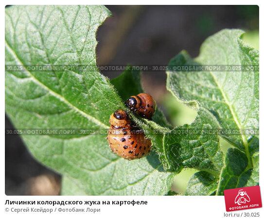 Купить «Личинки колорадского жука на картофеле», фото № 30025, снято 18 июля 2006 г. (c) Сергей Ксейдор / Фотобанк Лори