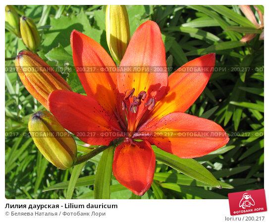Лилия даурская - Lilium dauricum, фото № 200217, снято 1 июля 2006 г. (c) Беляева Наталья / Фотобанк Лори