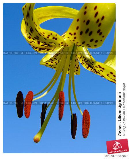 Купить «Лилия. Lilium tigrinum», фото № 134989, снято 14 июля 2005 г. (c) Serg Zastavkin / Фотобанк Лори