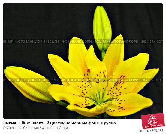 Лилия. Lilium. Желтый цветок на черном фоне. Крупно., фото № 303185, снято 12 июня 2007 г. (c) Светлана Силецкая / Фотобанк Лори