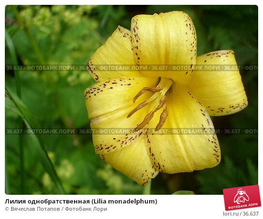 Лилия однобратственная (Lilia monadelphum), фото № 36637, снято 16 июля 2006 г. (c) Вячеслав Потапов / Фотобанк Лори