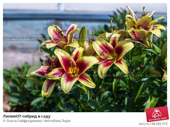 Купить «ЛилияОТ-гибрид в саду», фото № 28325713, снято 3 августа 2014 г. (c) Ольга Сейфутдинова / Фотобанк Лори