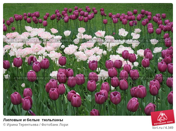 Лиловые и белые  тюльпаны, эксклюзивное фото № 4349, снято 29 мая 2006 г. (c) Ирина Терентьева / Фотобанк Лори