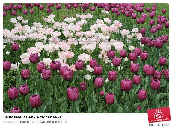 Лиловые и белые тюльпаны, эксклюзивное фото № 4357, снято 29 мая 2006 г. (c) Ирина Терентьева / Фотобанк Лори