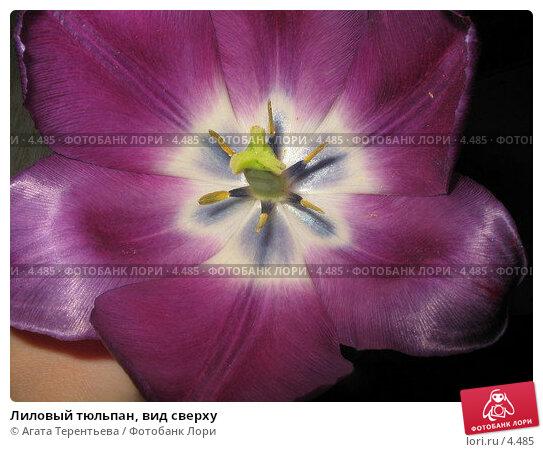 Лиловый тюльпан, вид сверху, фото № 4485, снято 25 мая 2006 г. (c) Агата Терентьева / Фотобанк Лори
