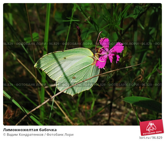 Лимонножелтая бабочка, фото № 96829, снято 27 мая 2017 г. (c) Вадим Кондратенков / Фотобанк Лори