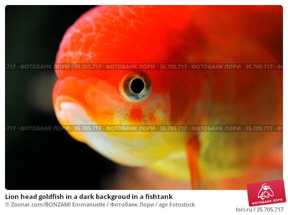 Lion head goldfish in a dark backgroud in a fishtank. Стоковое фото, фотограф Zoonar.com/BONZAMI Emmanuelle / age Fotostock / Фотобанк Лори