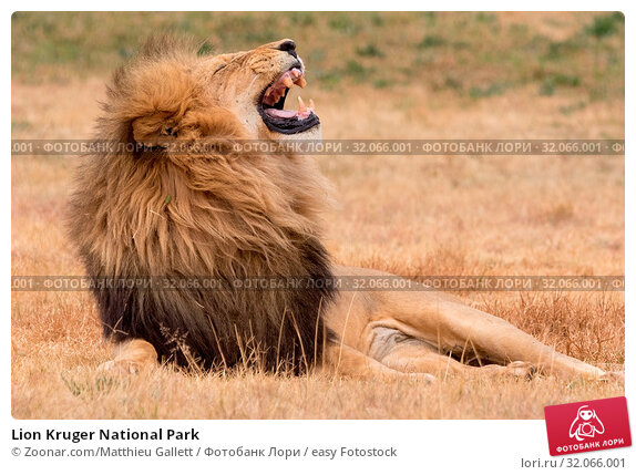 Lion Kruger National Park. Стоковое фото, фотограф Zoonar.com/Matthieu Gallett / easy Fotostock / Фотобанк Лори