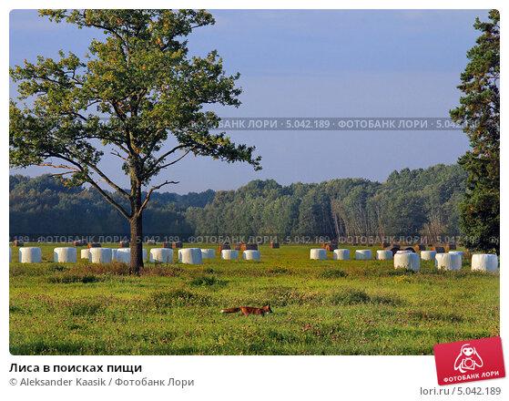 Купить «Лиса в поисках пищи», фото № 5042189, снято 10 сентября 2013 г. (c) Aleksander Kaasik / Фотобанк Лори