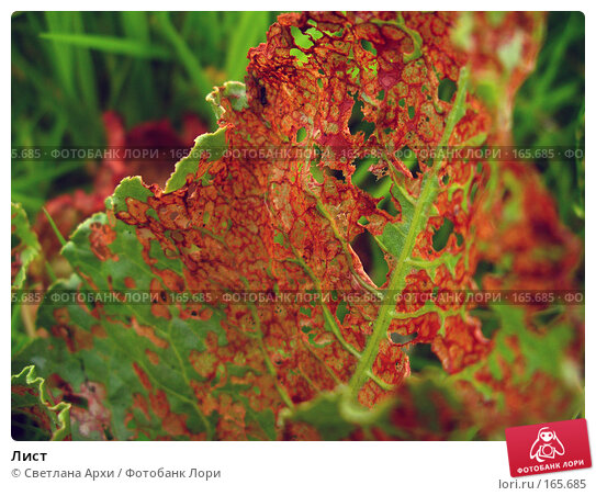 Купить «Лист», фото № 165685, снято 27 июня 2005 г. (c) Светлана Архи / Фотобанк Лори