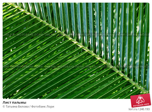 Лист пальмы, эксклюзивное фото № 240193, снято 18 марта 2008 г. (c) Татьяна Белова / Фотобанк Лори