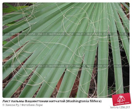 Лист пальмы Вашингтонии нитчатой (Washingtonia filifera), фото № 258217, снято 12 апреля 2008 г. (c) Заноза-Ру / Фотобанк Лори