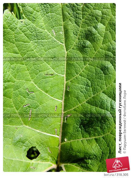 Лист, поврежденный гусеницами, фото № 318305, снято 17 января 2017 г. (c) Парушин Евгений / Фотобанк Лори