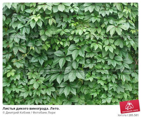 Купить «Листья дикого винограда. Лето.», фото № 285581, снято 6 августа 2006 г. (c) Дмитрий Кобзев / Фотобанк Лори